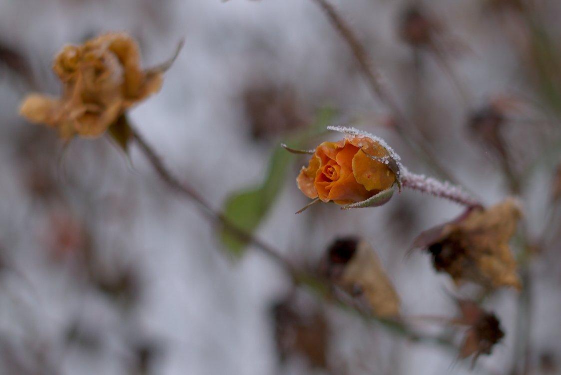 Eisrose. Fotografiert mit Leica M und Summilux-M 50 mm @ f/1.4.